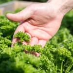 Eigener Salat- & Gemüsegarten